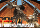 gaya bertarung ayam aseel