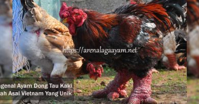 Ayam Dong Tau Kaki Gajah Asal Vietnam